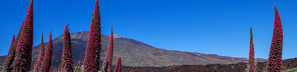 Teide landscape with flower Echium wildpretii (red bugloss)